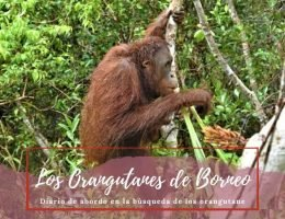 Orangutanes de Borneo - Pasaporte a la Tierra