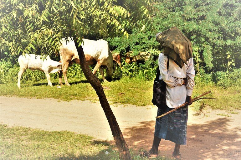 Pastora con ganado en Myanmar