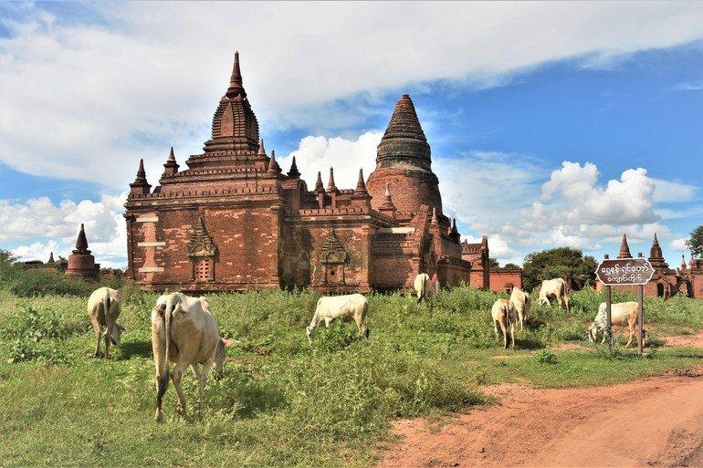 Ganado cerca de Templos de Bagán