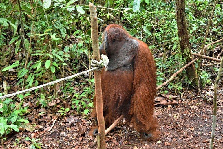 Macho Alfa Orangutanes de Borneo