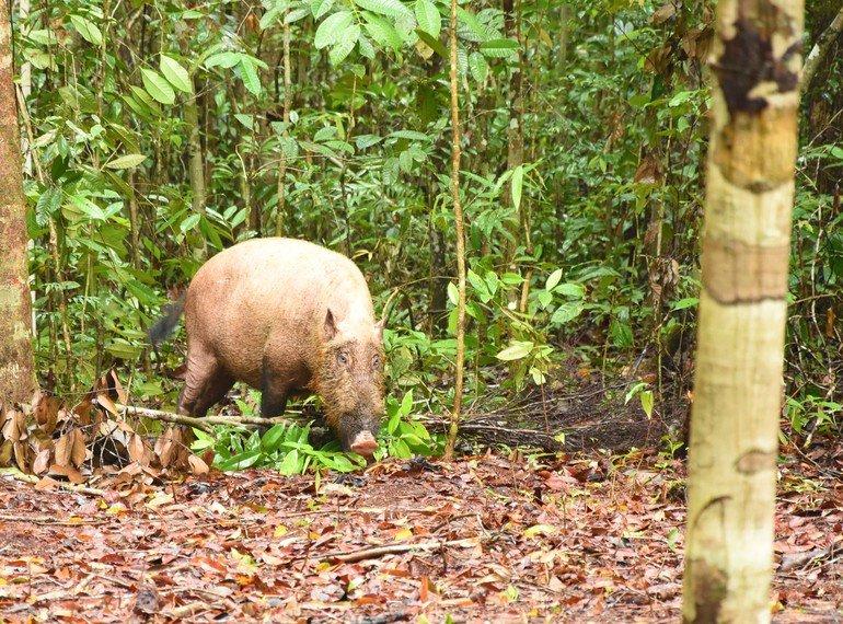 Jabalí en Borneo