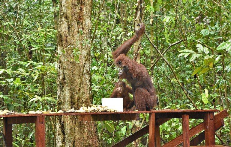 Orangutanes de Borneo