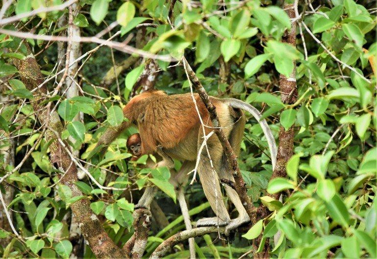 Monos narigudos en Borneo