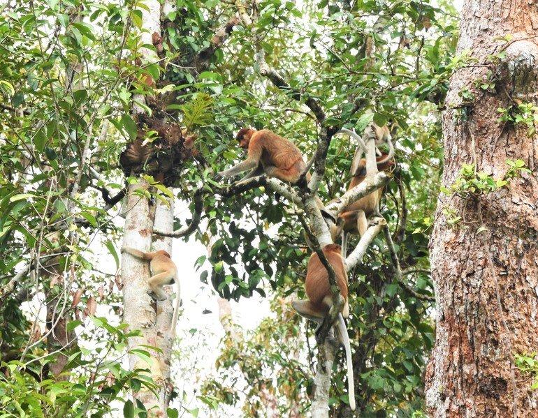 Narigudos en Borneo