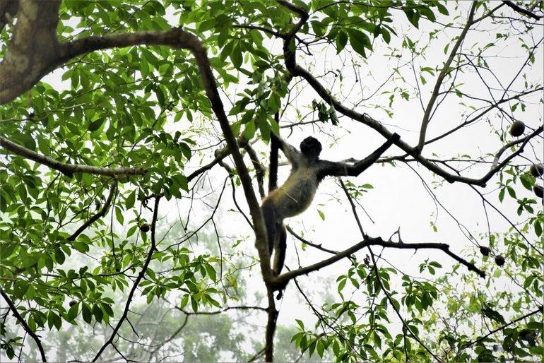Mono araña Tikal