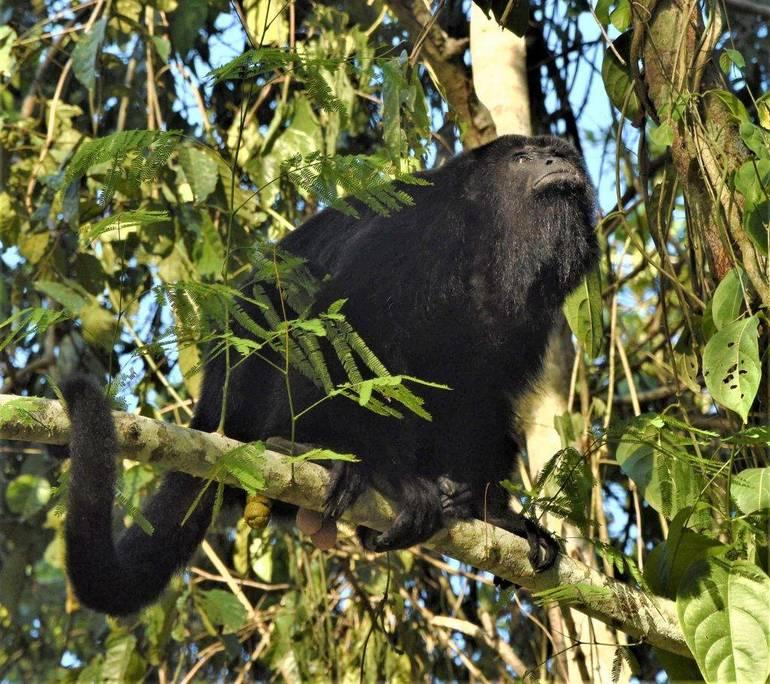 Mono aullador en Tikal