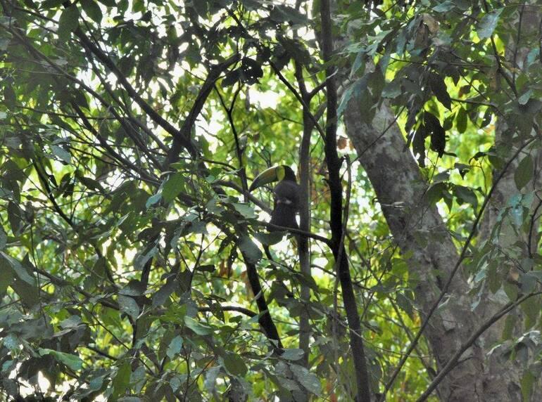 Tucán aracarí