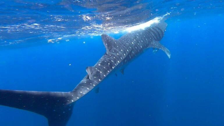 Tiburón ballena Holbox