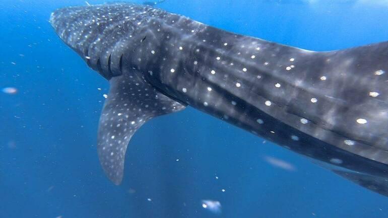 Nadando con Tiburón ballena