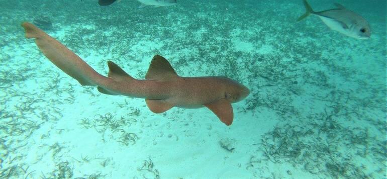 Tiburón gato - Snorkel en CayoAmbergris Caulker