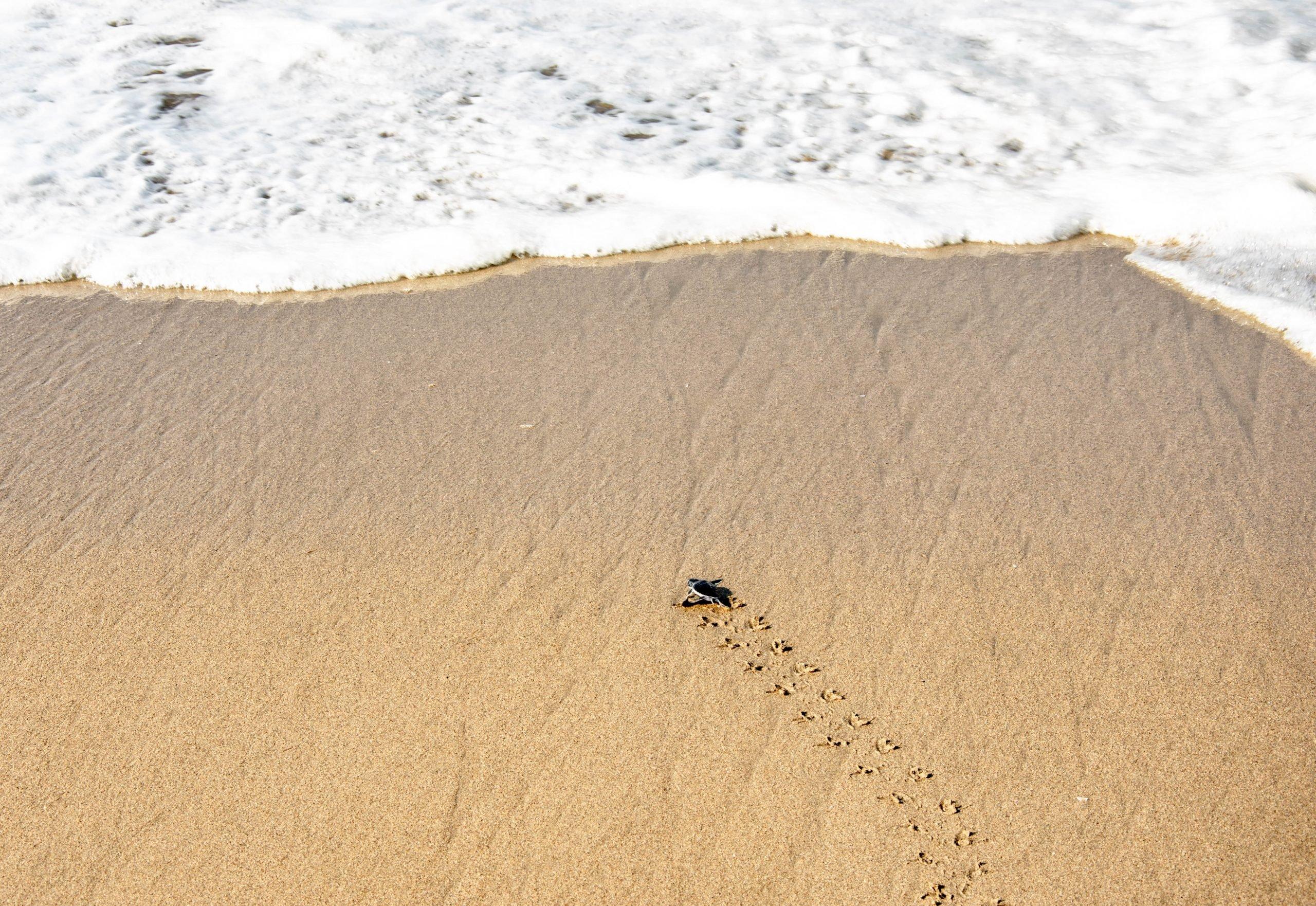 Liberando las tortugas en Playa de Sukamade