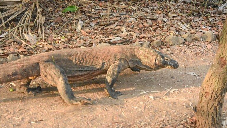 Dragones de Komodo en hábitat natural