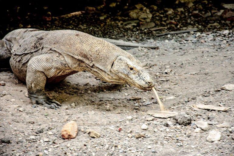 Dragones de Komodo en la isla de Rinca
