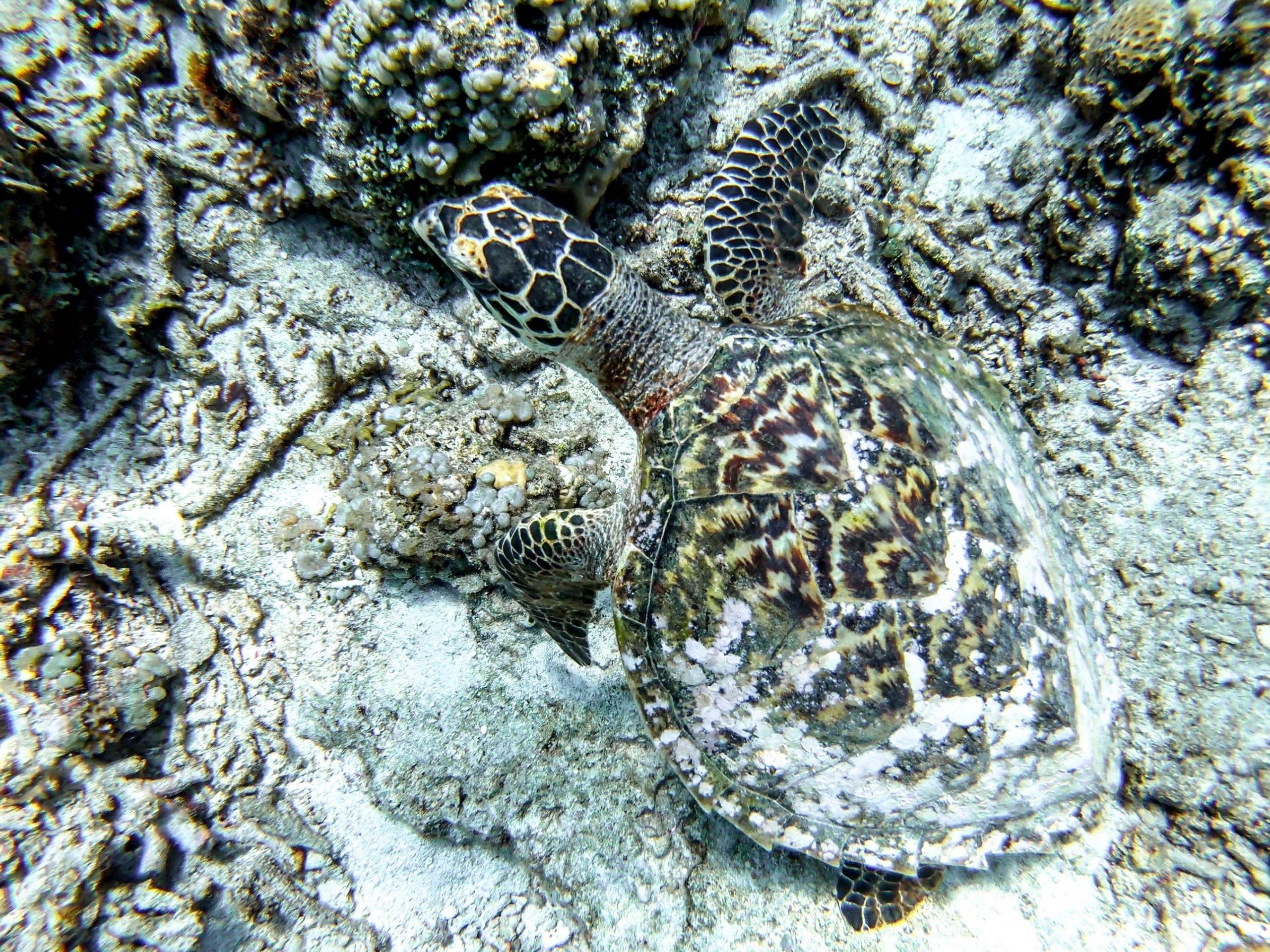 Tortuga en Islas Gili Indonesia