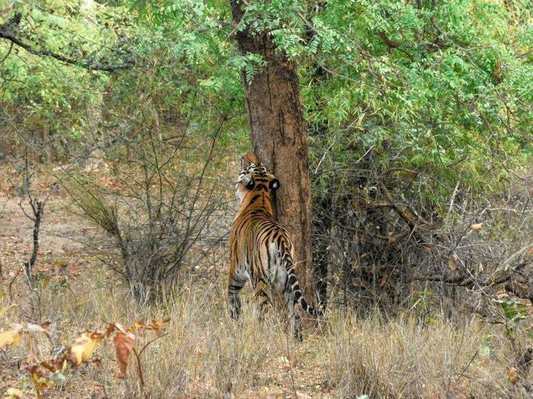 Tigre de bengala en Parque Nacional deBandhavgarh - India