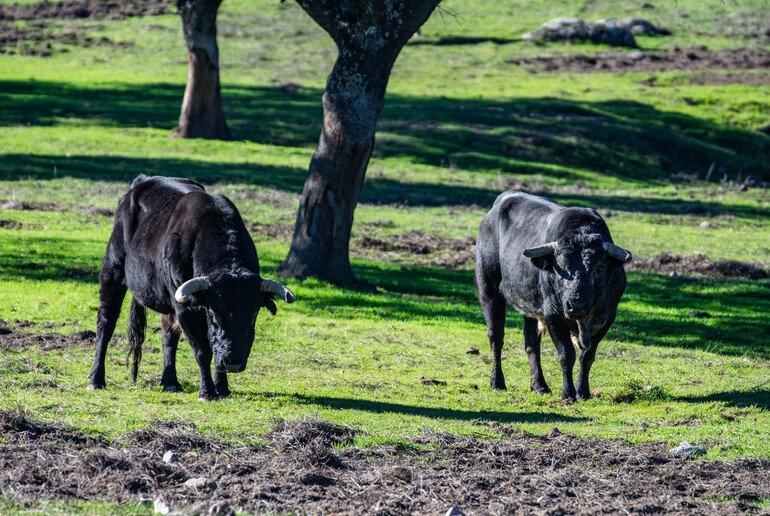 Toros en Sierra de Andújar