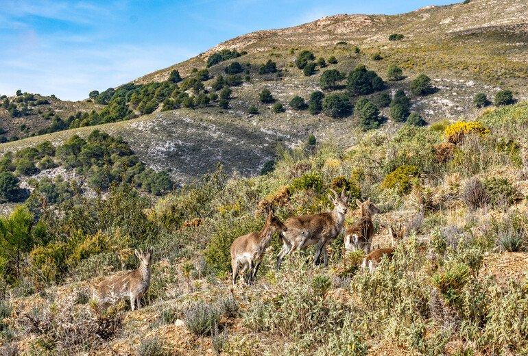 cabras montesas Canillas de Aceituno